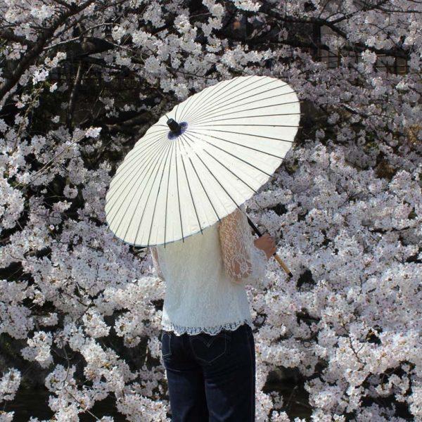 白い和日傘と桜 Japanese umbrella